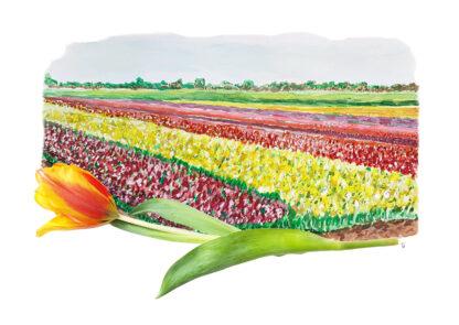 Tulips tulp bollenvelden typical dutch hollands